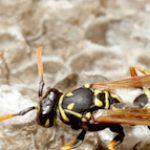Schädlingsbekämpfung - Wespen
